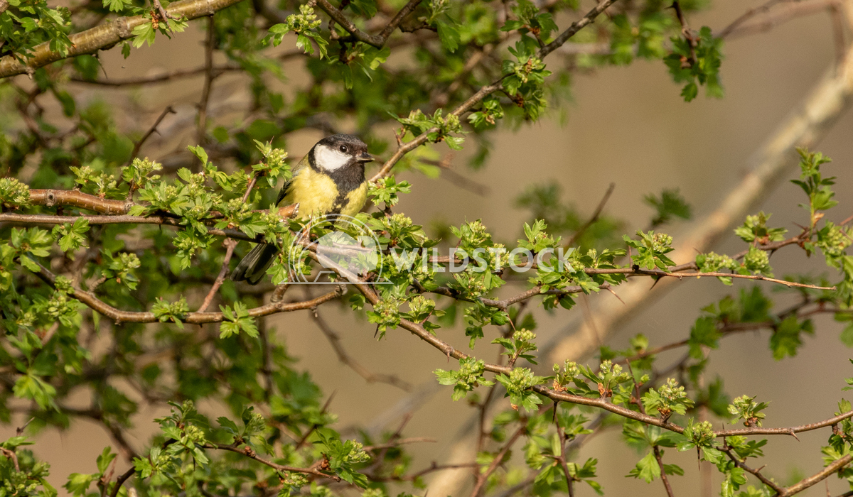 Great Tit perched in a tree 1 Gareth Kelley Blue Tit perched on a small branch. Photographed whilst exploring the Llyn G