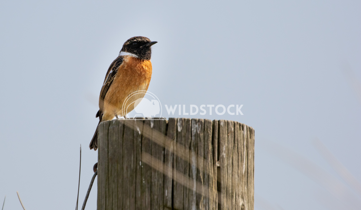 Stonechat posing for me in the sand dunes 8 Gareth Kelley My first time ever photographing a Stonechat and it posed for
