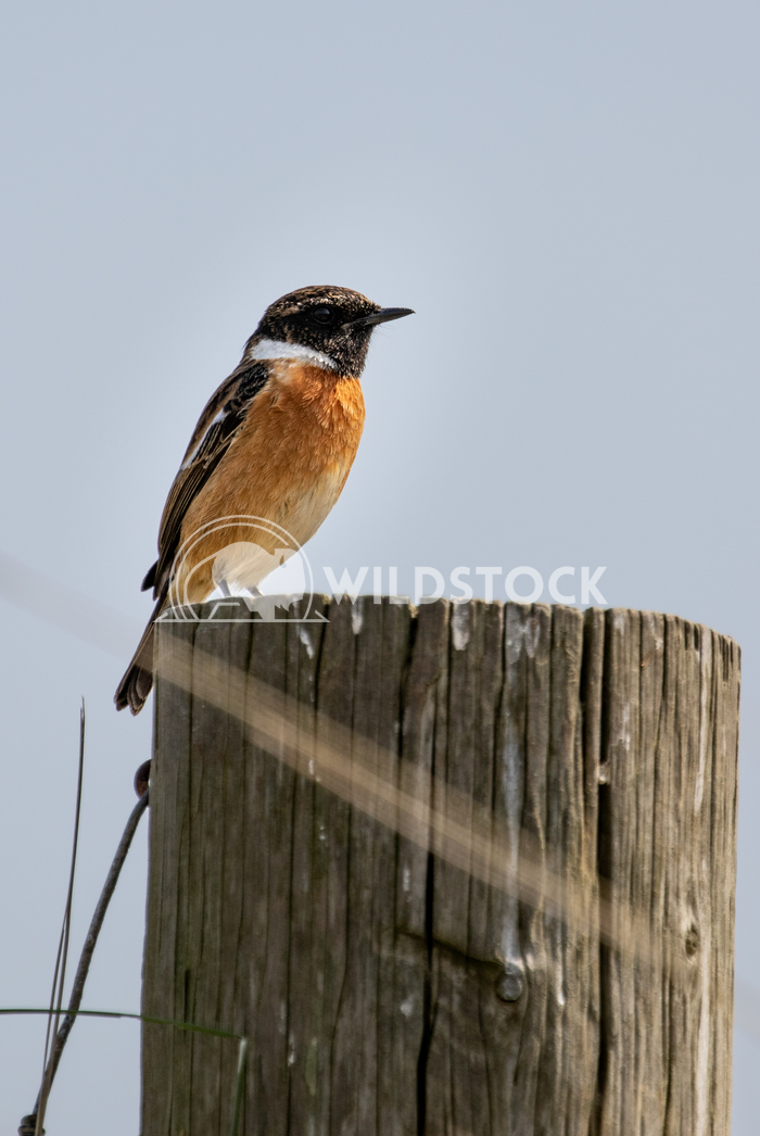 Stonechat posing for me in the sand dunes 7 Gareth Kelley My first time ever photographing a Stonechat and it posed for