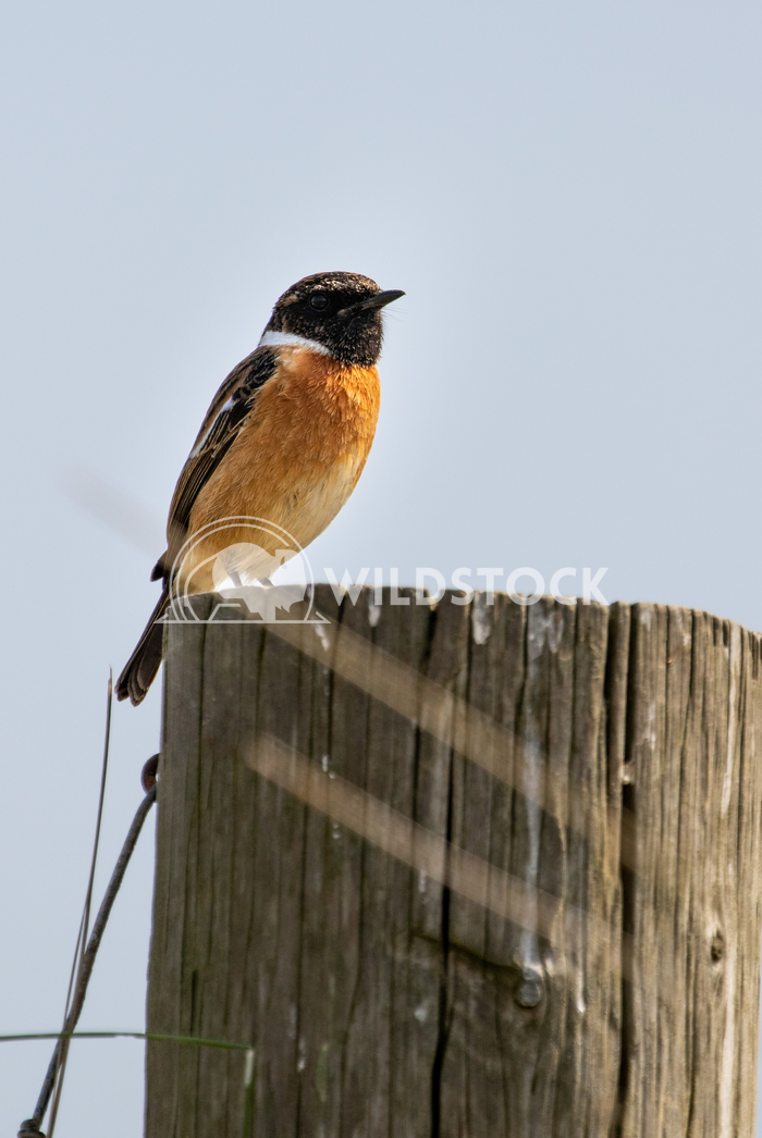 Stonechat posing for me in the sand dunes 6 Gareth Kelley My first time ever photographing a Stonechat and it posed for