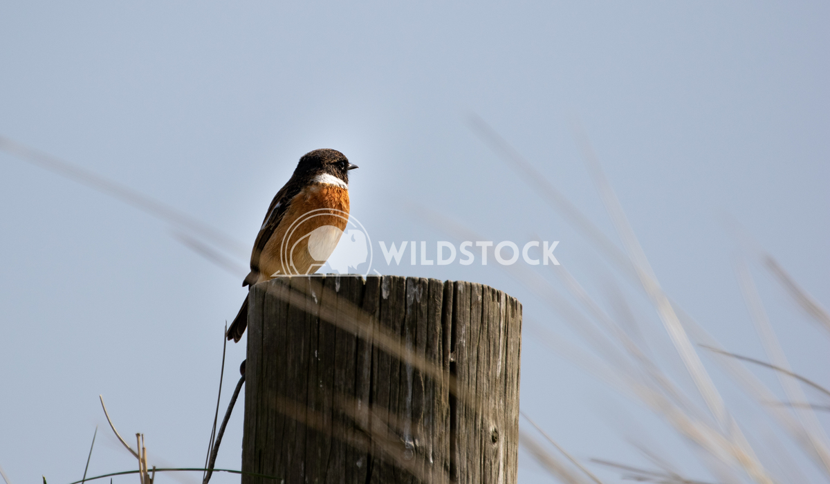 Stonechat posing for me in the sand dunes 2 Gareth Kelley My first time ever photographing a Stonechat and it posed for