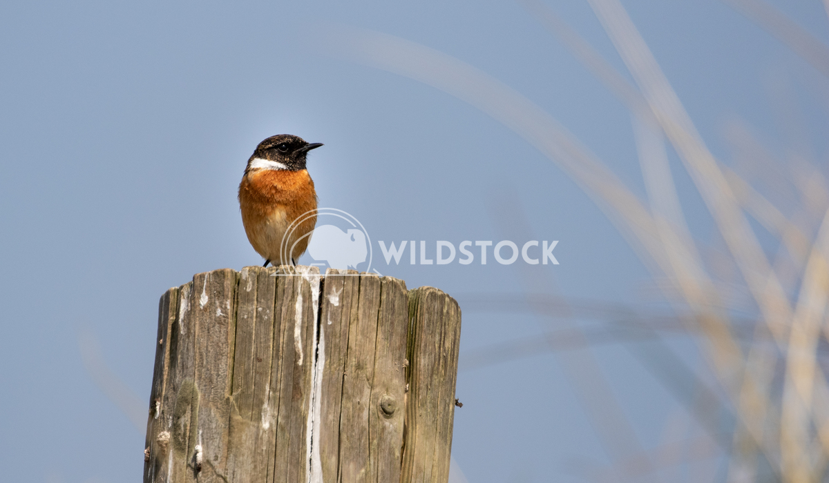 Stonechat posing for me in the sand dunes 1 Gareth Kelley My first time ever photographing a Stonechat and it posed for