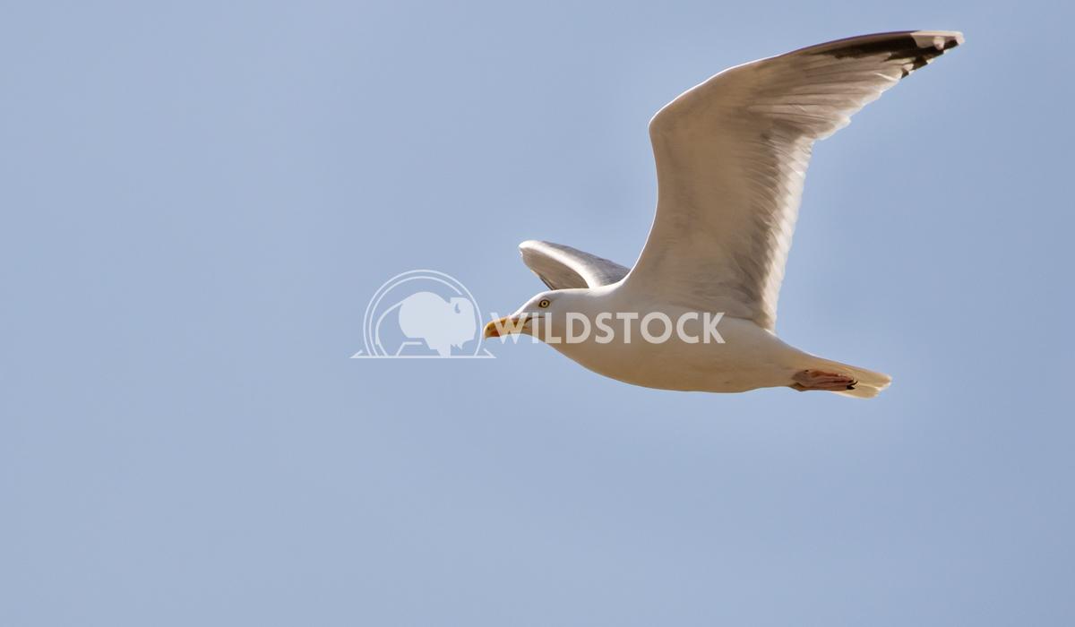 Common Gull soaring over Black Rock Sands, Porthmadog 1 Gareth Kelley Common Gull in flight, soaring over Black Rock San