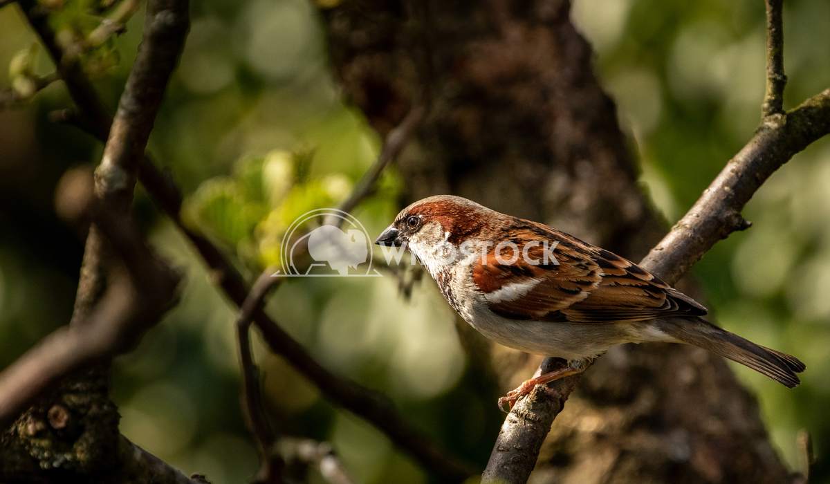 House Sparrow in the tangled bushes surrounding Glaslyn Osprey Project 6 Gareth Kelley House Sparrow photographed throug