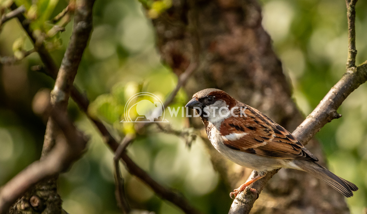 House Sparrow in the tangled bushes surrounding Glaslyn Osprey Project 5 Gareth Kelley House Sparrow photographed throug