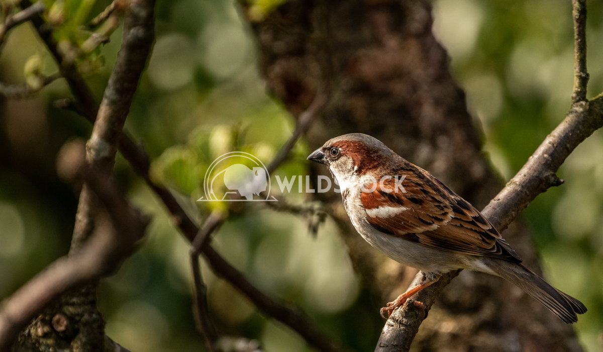 House Sparrow in the tangled bushes surrounding Glaslyn Osprey Project 4 Gareth Kelley House Sparrow photographed throug