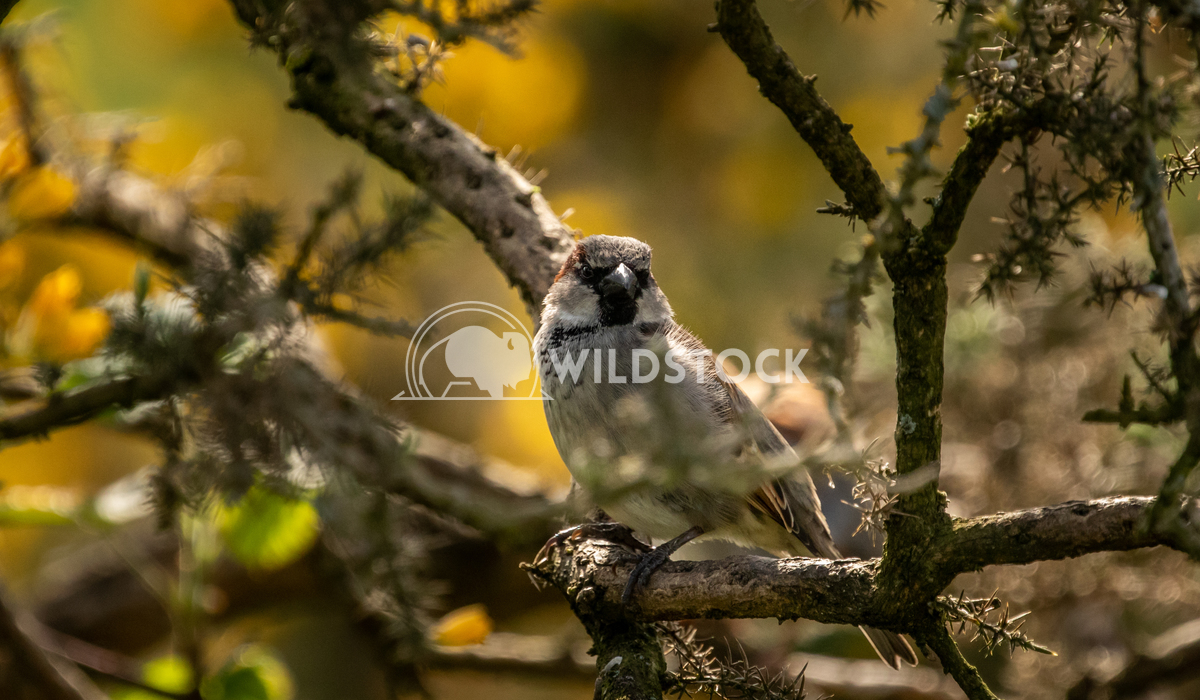 House Sparrow in the tangled bushes surrounding Glaslyn Osprey Project 2 Gareth Kelley House Sparrow photographed throug