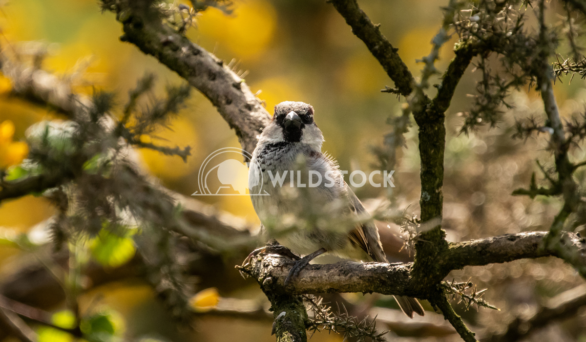 House Sparrow in the tangled bushes surrounding Glaslyn Osprey Project 1 Gareth Kelley House Sparrow photographed throug
