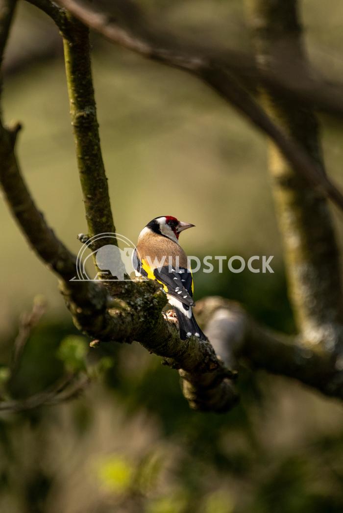 Goldfinch at Glaslyn Osprey Project 1 Gareth Kelley Goldfinch perched on a branch at Glaslyn Osprey Project near Porthma