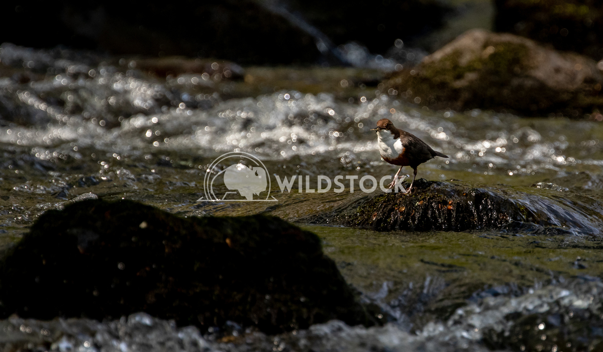 Dipper standing on a rock on the Afon Llugwy, Betws-y-Coed 2 Gareth Kelley One of my favourite little birds, the Dipper.