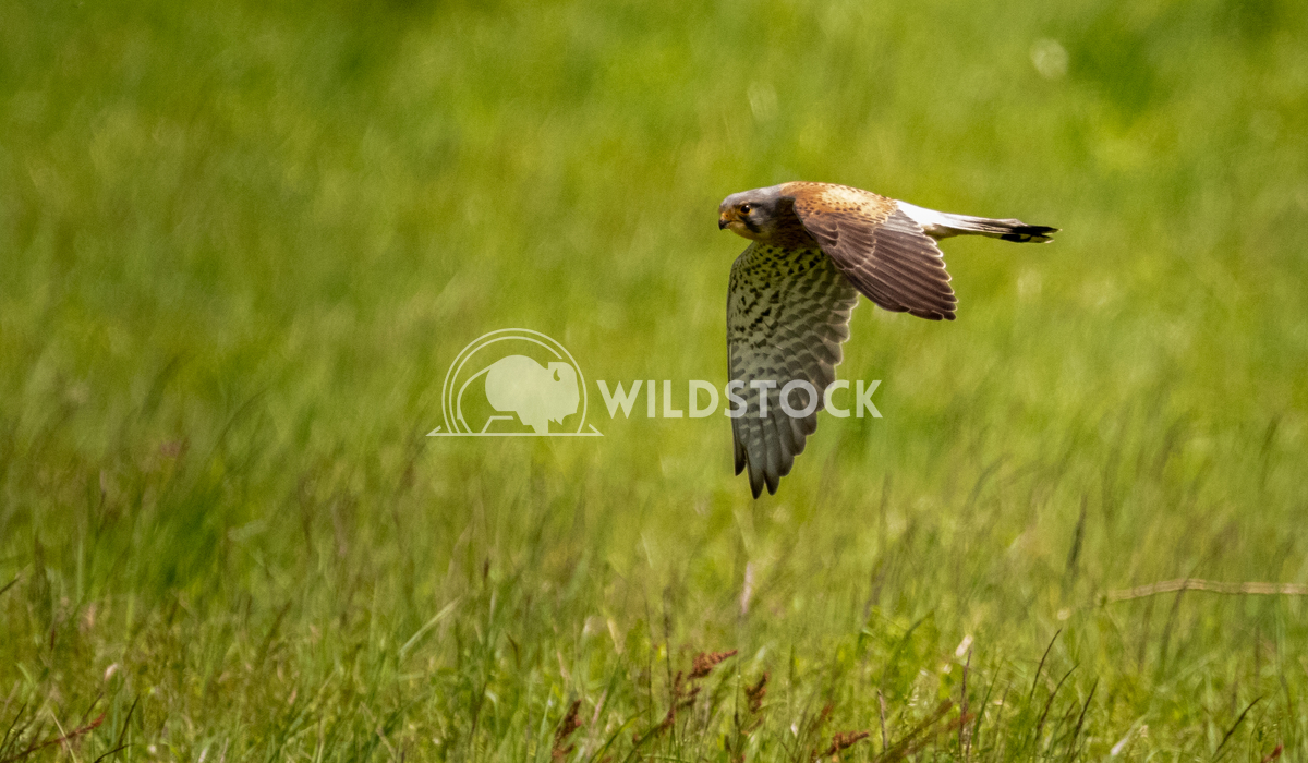 Kestrel hunting low over the fields of Mount Pleasant Covert 1 Gareth Kelley Kestrel skimming the grass having caught it