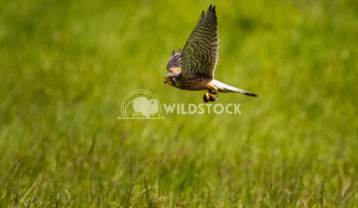 Kestrel caught it's meal low over the fields of Mount Pleasant Covert Gareth Kelley Kestrel catches it's dinner, a mouse