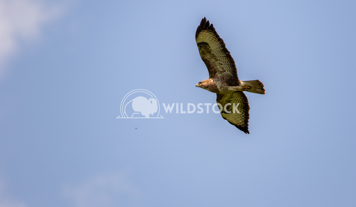 Common Buzzard flying above the tree tops 2 Gareth Kelley Common Buzzard flying above the tree tops surrounding the Rive