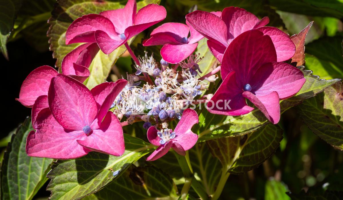 Penny mac, Hydrangea macrophylla 19 Alexander Ludwig Penny mac (Hydrangea macrophylla), flowers of summer