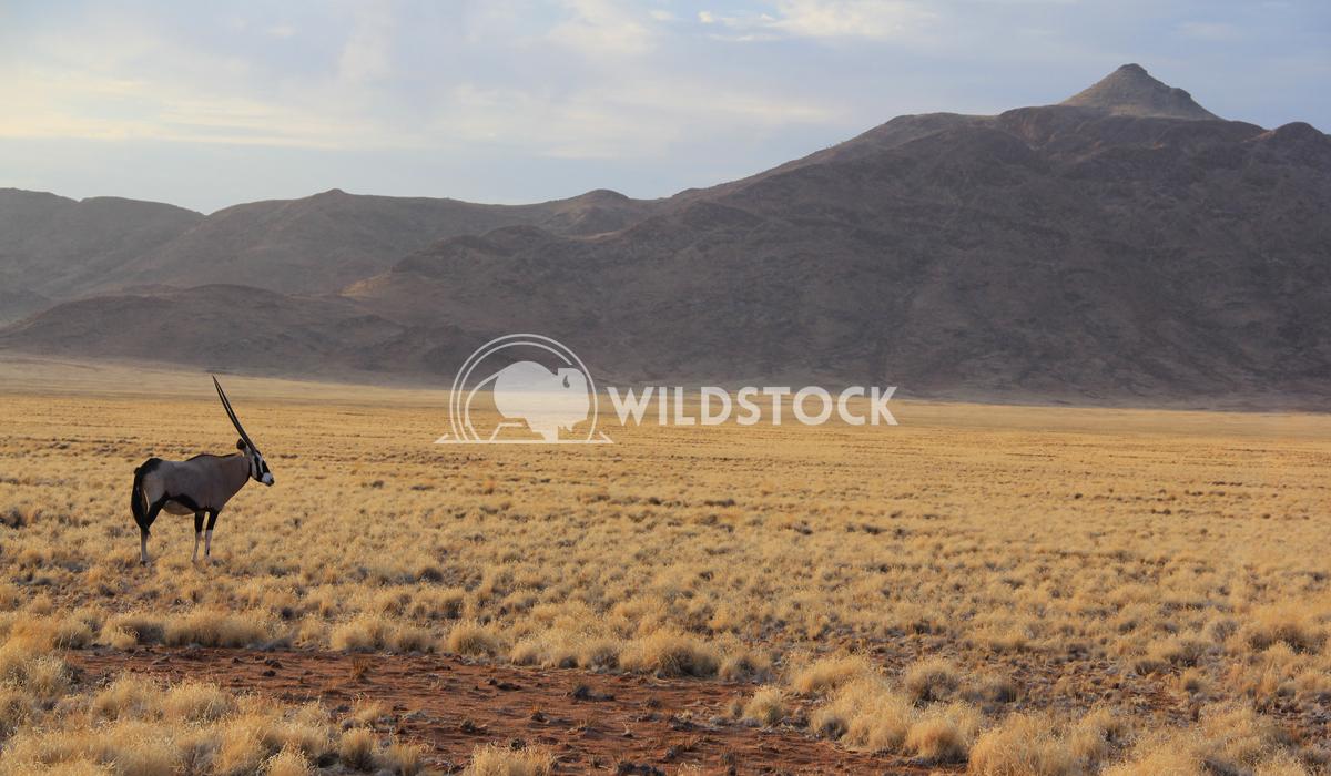 Lone Oryx Frank  Castro