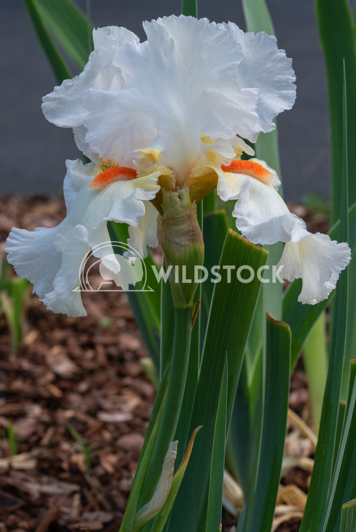 German iris, Iris barbata 1 Alexander Ludwig German iris (Iris barbata), close up of the flower head