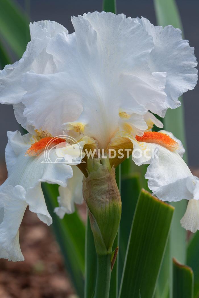 German iris, Iris barbata 2 Alexander Ludwig German iris (Iris barbata), close up of the flower head