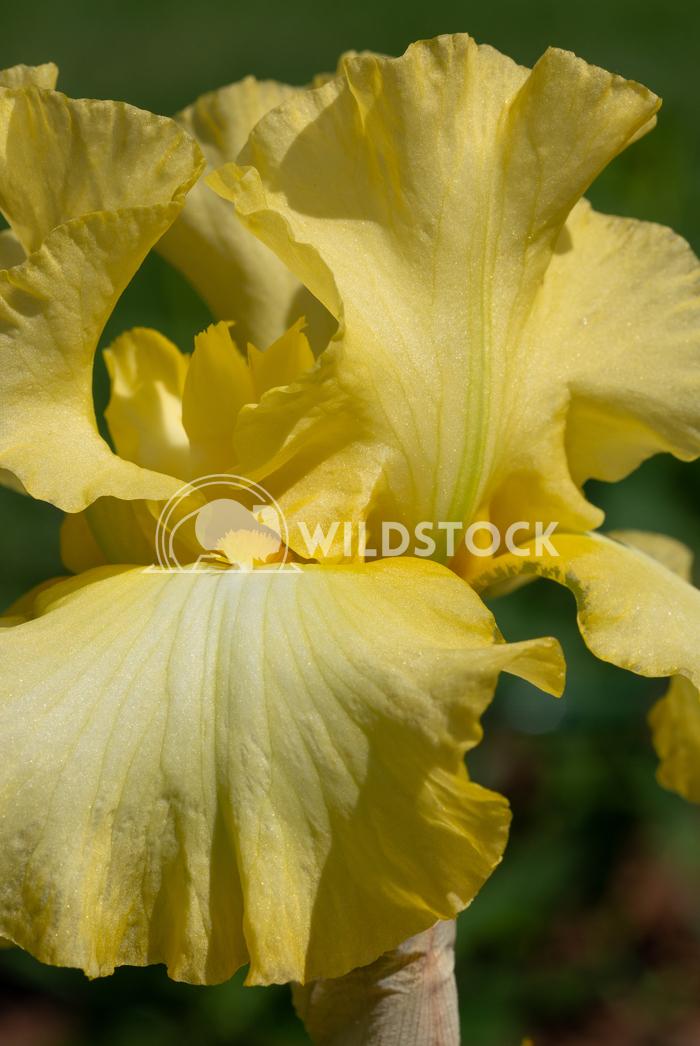 German iris, Iris barbata 10 Alexander Ludwig German iris (Iris barbata), close up of the flower head