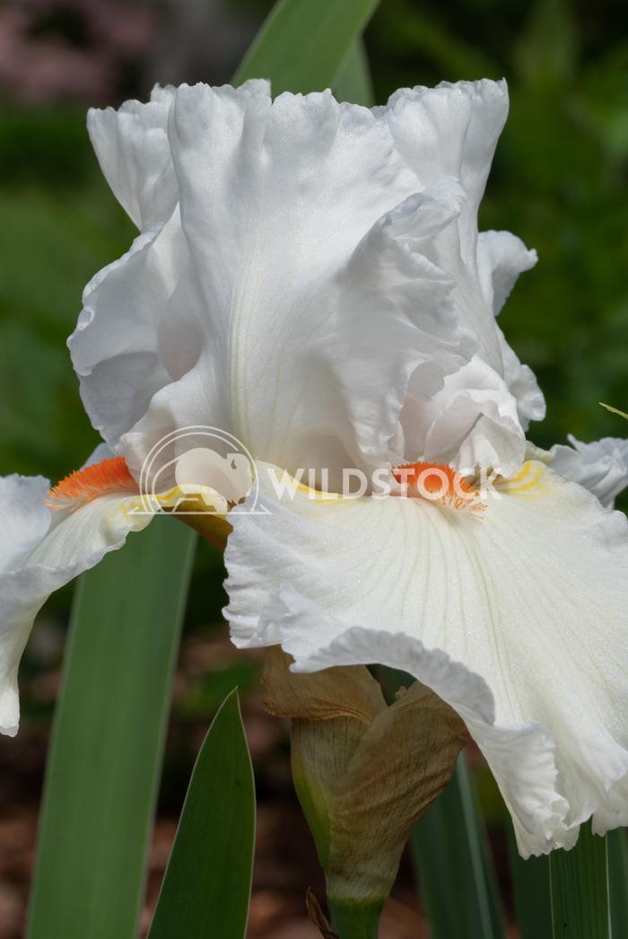 German iris, Iris barbata 11 Alexander Ludwig German iris (Iris barbata), close up of the flower head