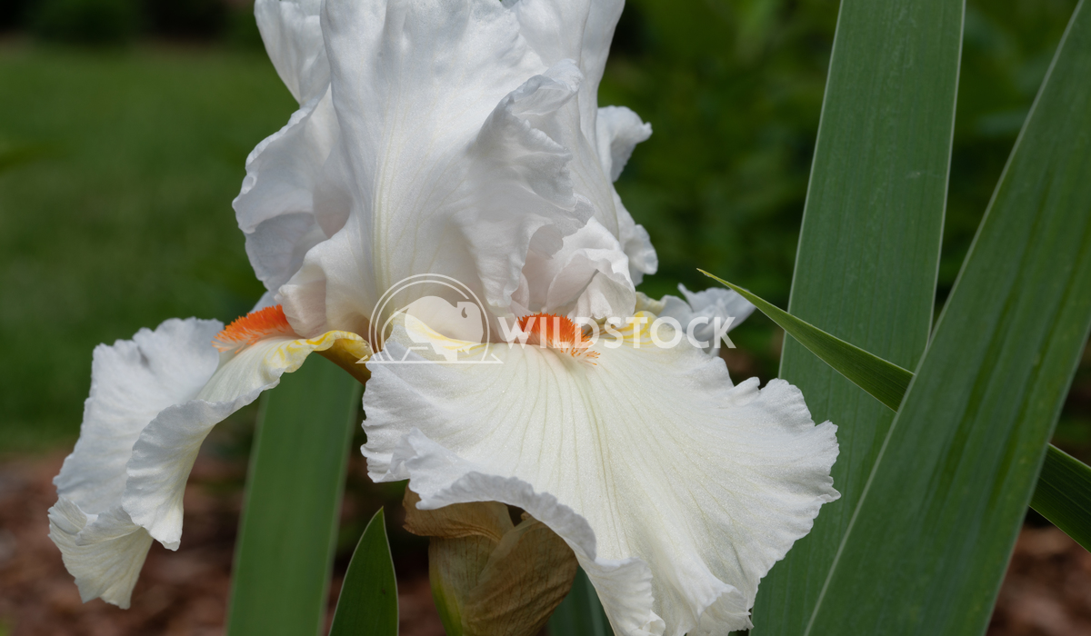 German iris, Iris barbata 12 Alexander Ludwig German iris (Iris barbata), close up of the flower head