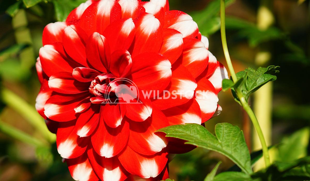 Dahlia, Dahlia 12 Alexander Ludwig Dahlia (Dahlia), flowers of summer