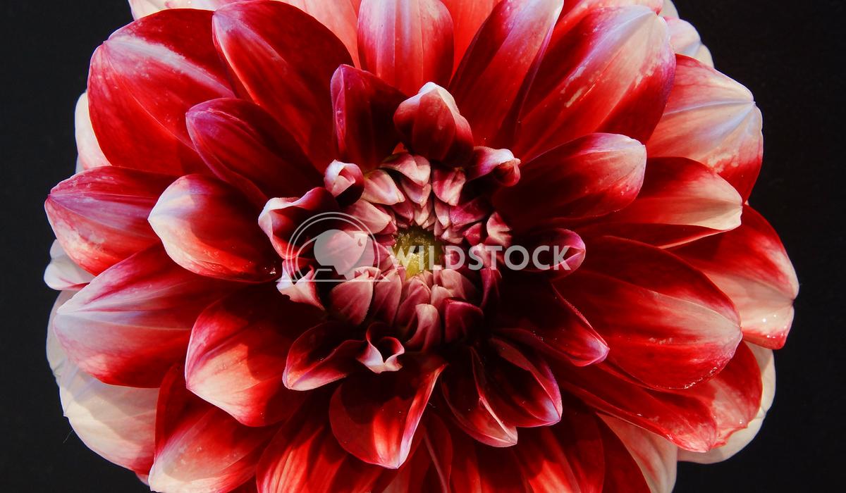 Dahlia, Dahlia 16 Alexander Ludwig Dahlia (Dahlia), flowers of summer