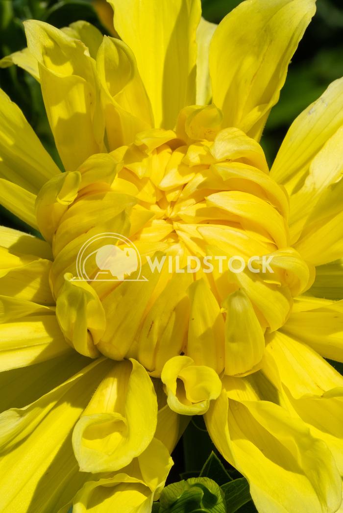 Dahlia, Dahlia 17 Alexander Ludwig Dahlia (Dahlia), flowers of summer
