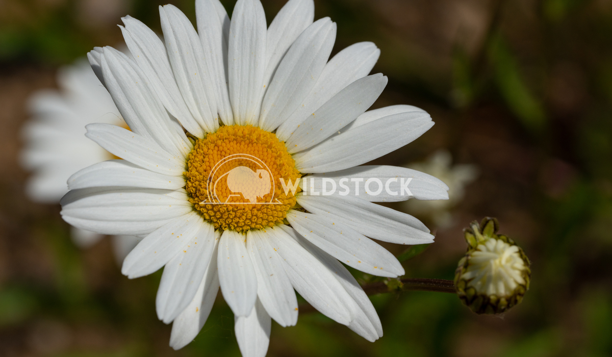 Common daisy, Leucanthemum vulgare 1 Alexander Ludwig Common daisy (Leucanthemum vulgare), close up of the flower head