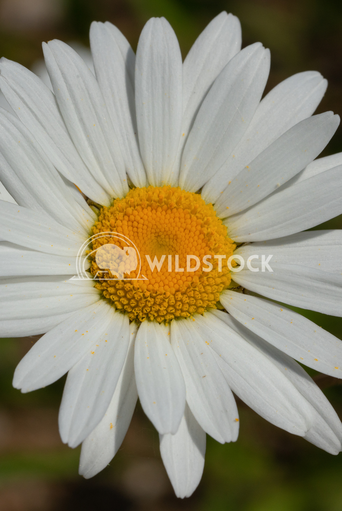 Common daisy, Leucanthemum vulgare 2 Alexander Ludwig Common daisy (Leucanthemum vulgare), close up of the flower head