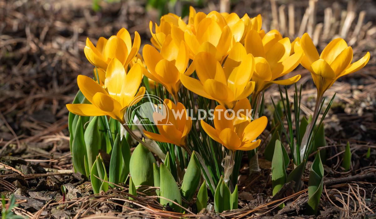 Crocus 3 Alexander Ludwig Crocus (Crocus), flowers of spring