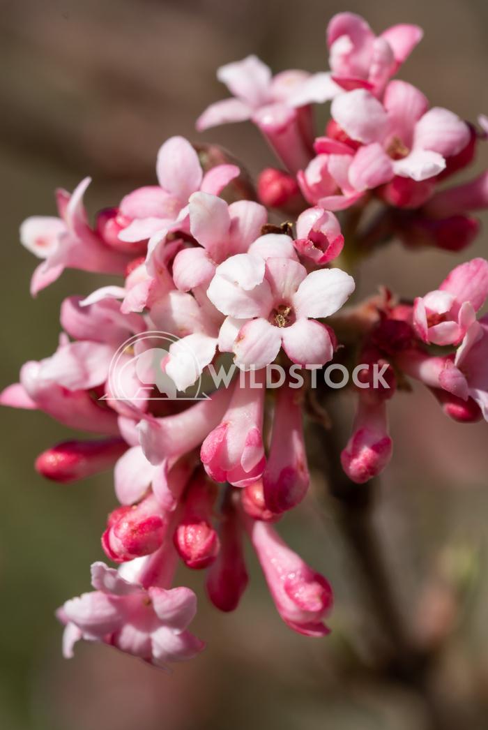 Viburnum, Viburnum farreri 6 Alexander Ludwig Viburnum (Viburnum farreri), flowers of the gardens