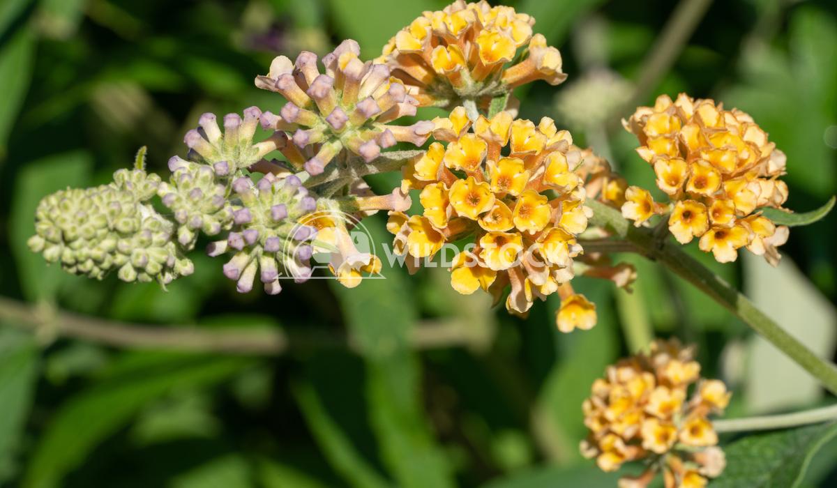 Buddleja Sungold, Buddleja weyeriana 2 Alexander Ludwig Buddleja Sungold (Buddleja weyeriana), flowers of summer