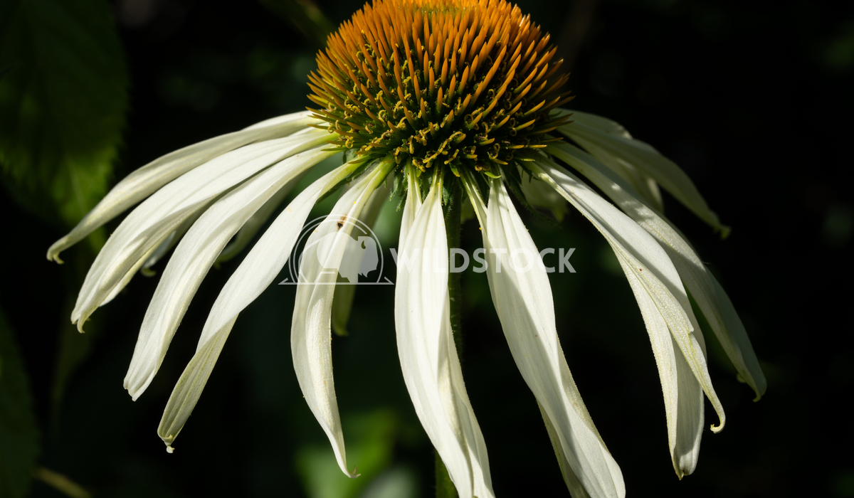 Coneflower, Echinacea purpurea White Swan 8 Alexander Ludwig Coneflower (Echinacea purpurea), flowers of summer