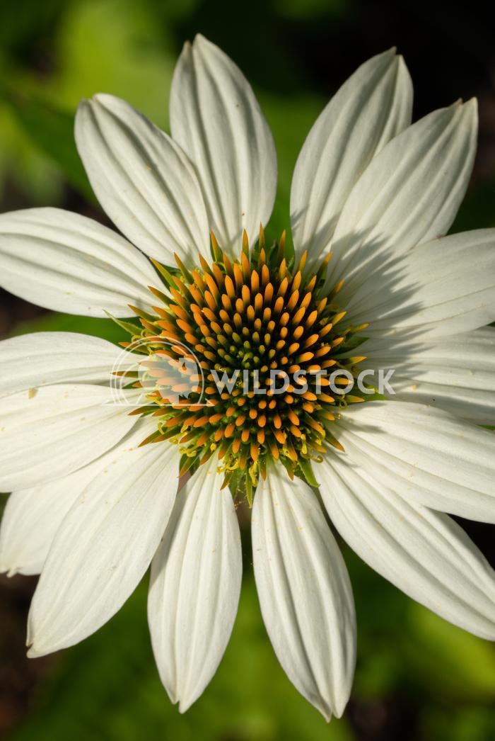 Coneflower, Echinacea purpurea White Swan 10 Alexander Ludwig Coneflower (Echinacea purpurea), flowers of summer