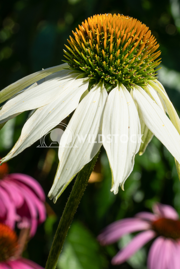 Coneflower, Echinacea purpurea White Swan 14 Alexander Ludwig Coneflower (Echinacea purpurea), flowers of summer