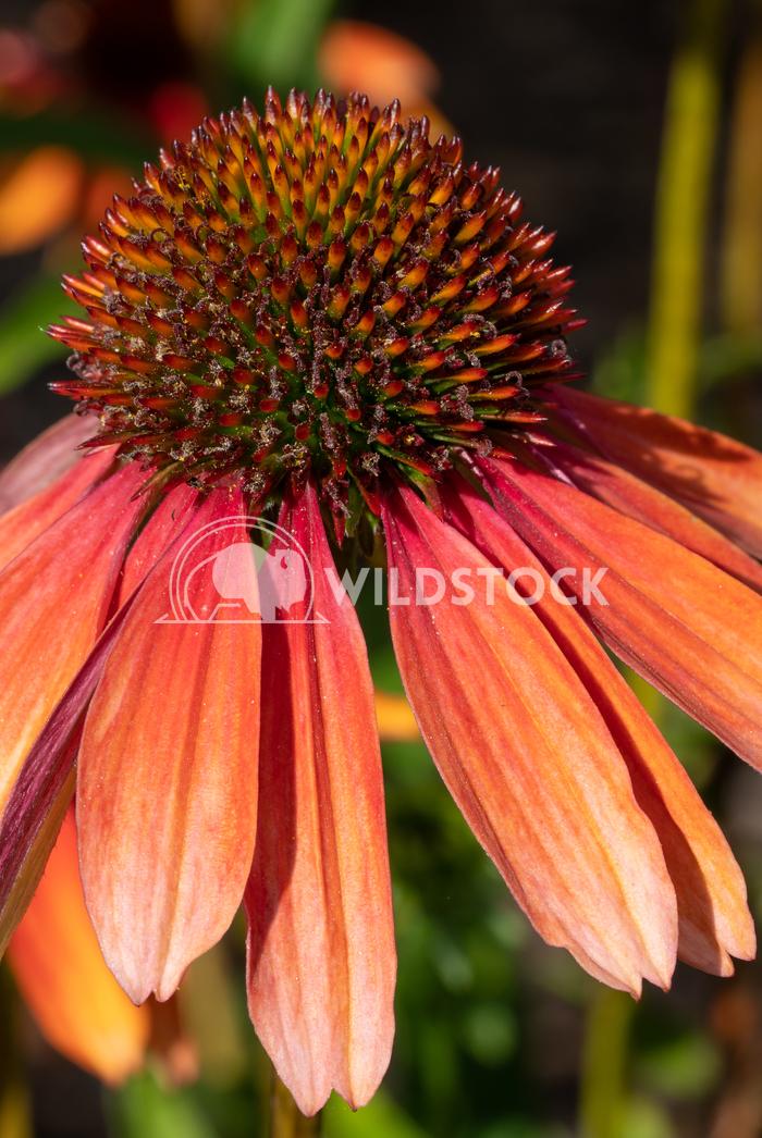 Coneflower, Echinacea purpurea 13 Alexander Ludwig Coneflower (Echinacea purpurea), flowers of summer