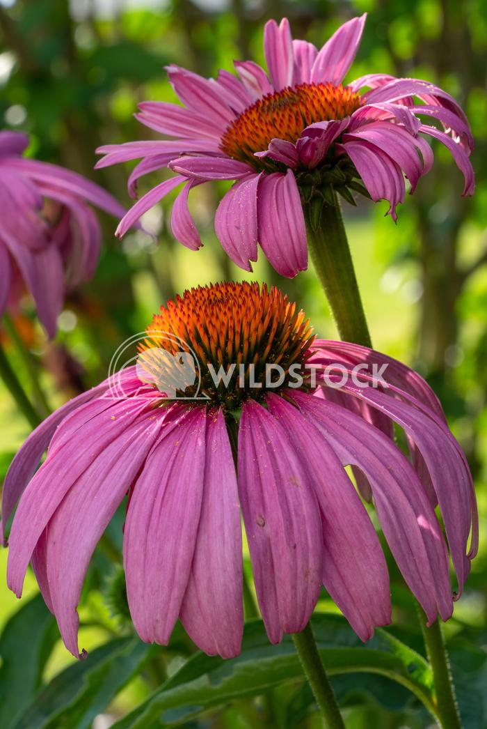 Coneflower, Echinacea purpurea 17 Alexander Ludwig Coneflower (Echinacea purpurea), flowers of summer