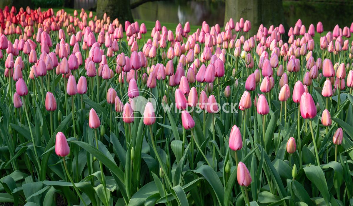 Tulip, Tulipa 5 Alexander Ludwig Tulip (Tulipa), close up of the flower of spring