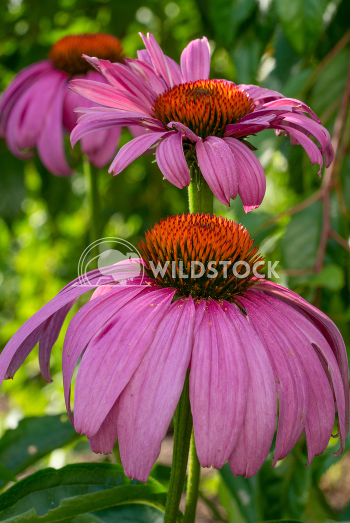 Coneflower, Echinacea purpurea 18 Alexander Ludwig Coneflower (Echinacea purpurea), flowers of summer