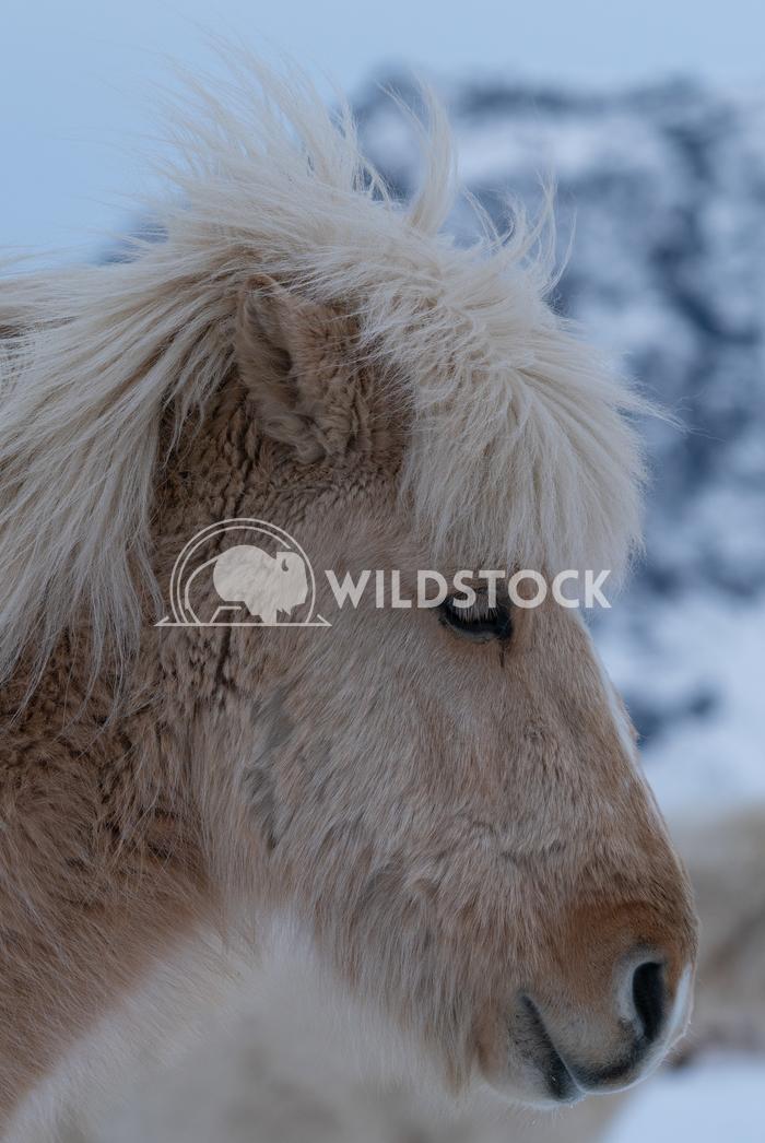 Iceland horse, Equus caballus 11 Alexander Ludwig Iceland horse (Equus caballus), traditional horse from the Icelandic i