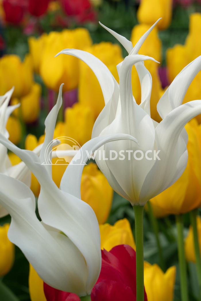 Tulip, Tulipa 19 Alexander Ludwig Tulip (Tulipa), close up of the flower of spring