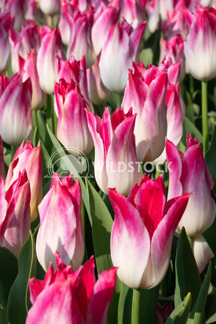 Tulip, Tulipa 9 Alexander Ludwig Tulip (Tulipa), close up of the flower of spring
