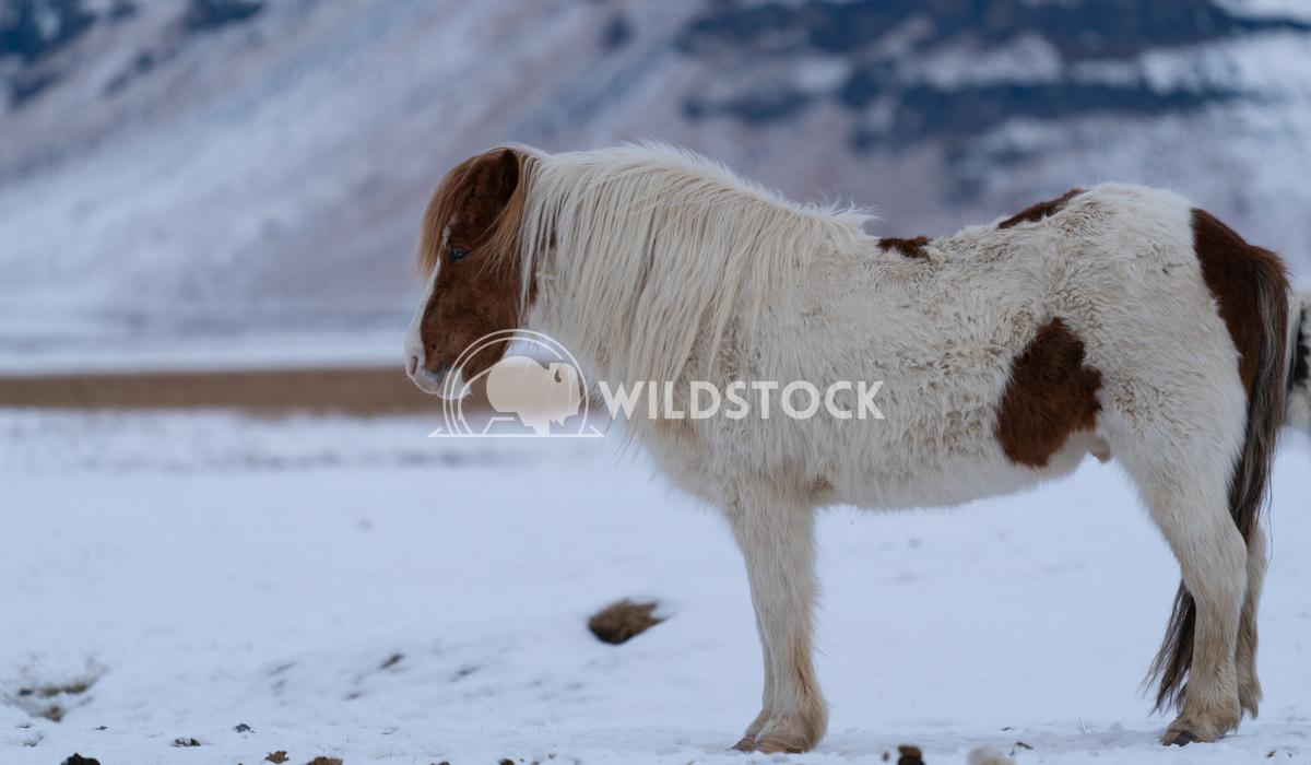 Iceland horse, Equus caballus 5 Alexander Ludwig Iceland horse (Equus caballus), traditional horse from the Icelandic is