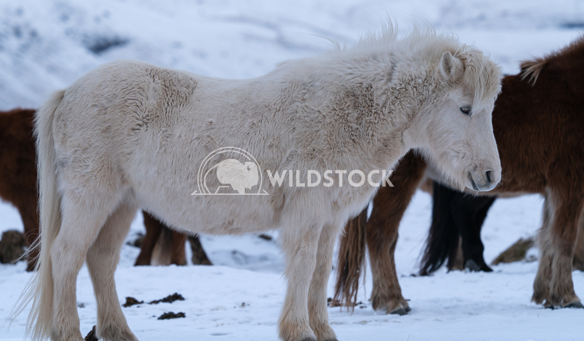 Iceland horse, Equus caballus 10 Alexander Ludwig Iceland horse (Equus caballus), traditional horse from the Icelandic i