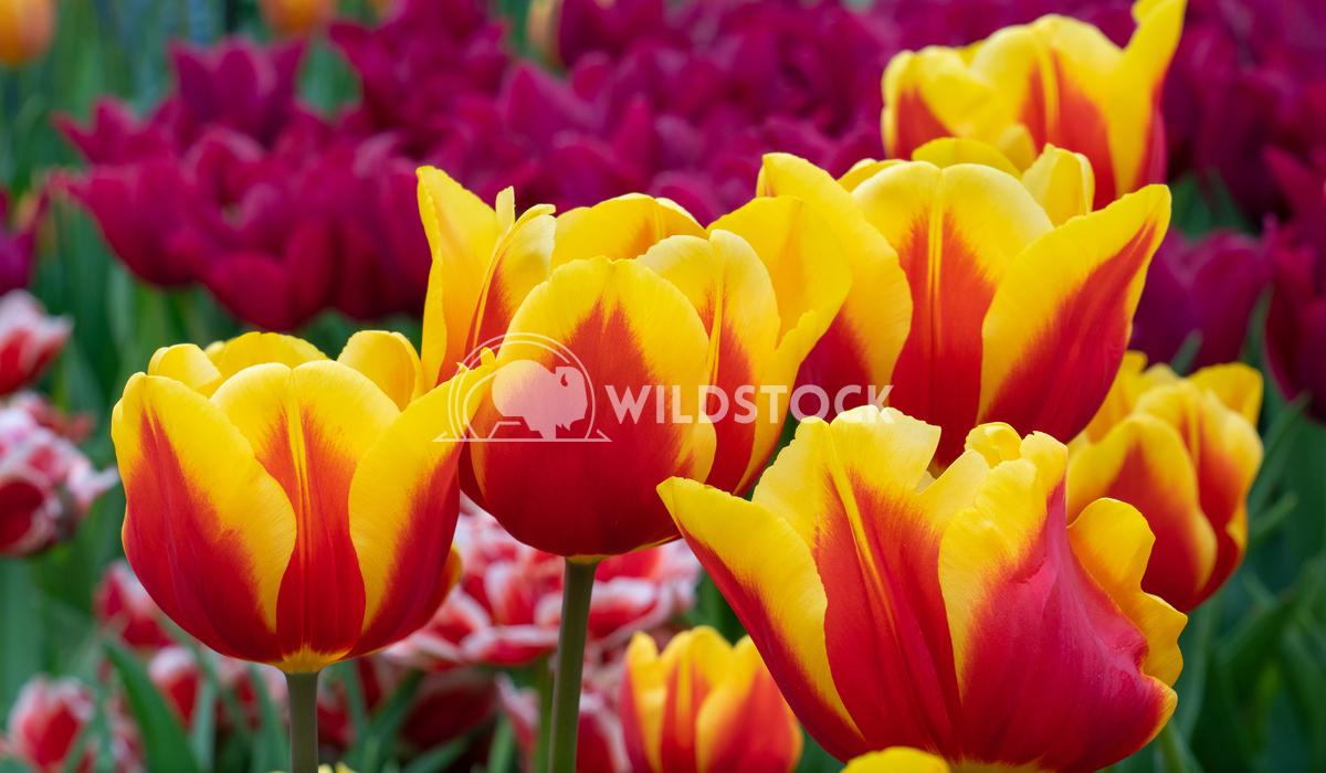 Tulip, Tulipa 20 Alexander Ludwig Tulip (Tulipa), close up of the flower of spring
