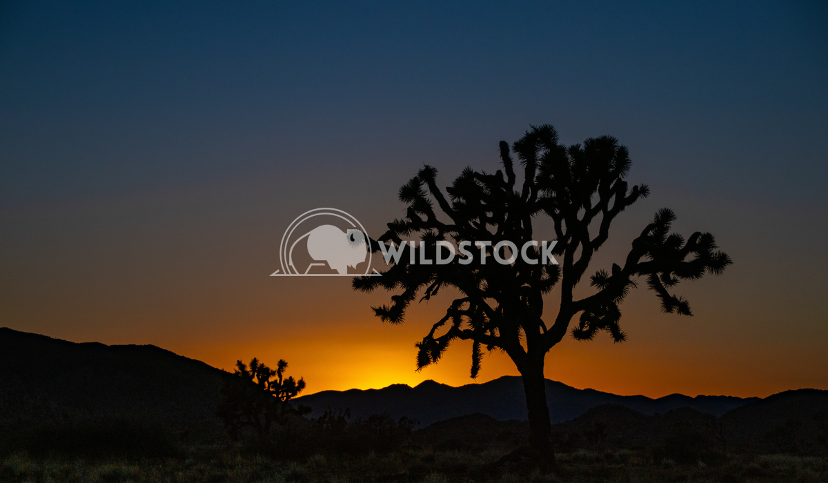 Joshua Tree Sunset Damon Yeh Joshua Tree NP has some of the best sunsets I've seen. Couldn't resist snapping a photo of