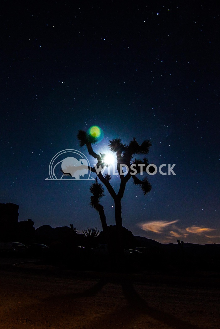 Joshua Tree Sillouette Damon Yeh