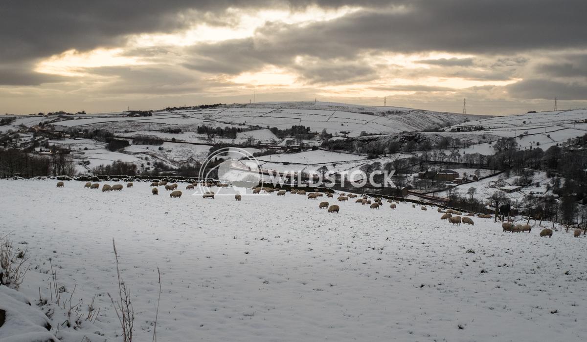 Lancashire Sheep