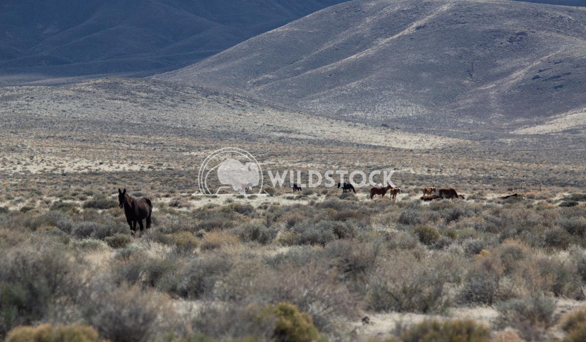 Alpha Wild Horse  Henry McCluster