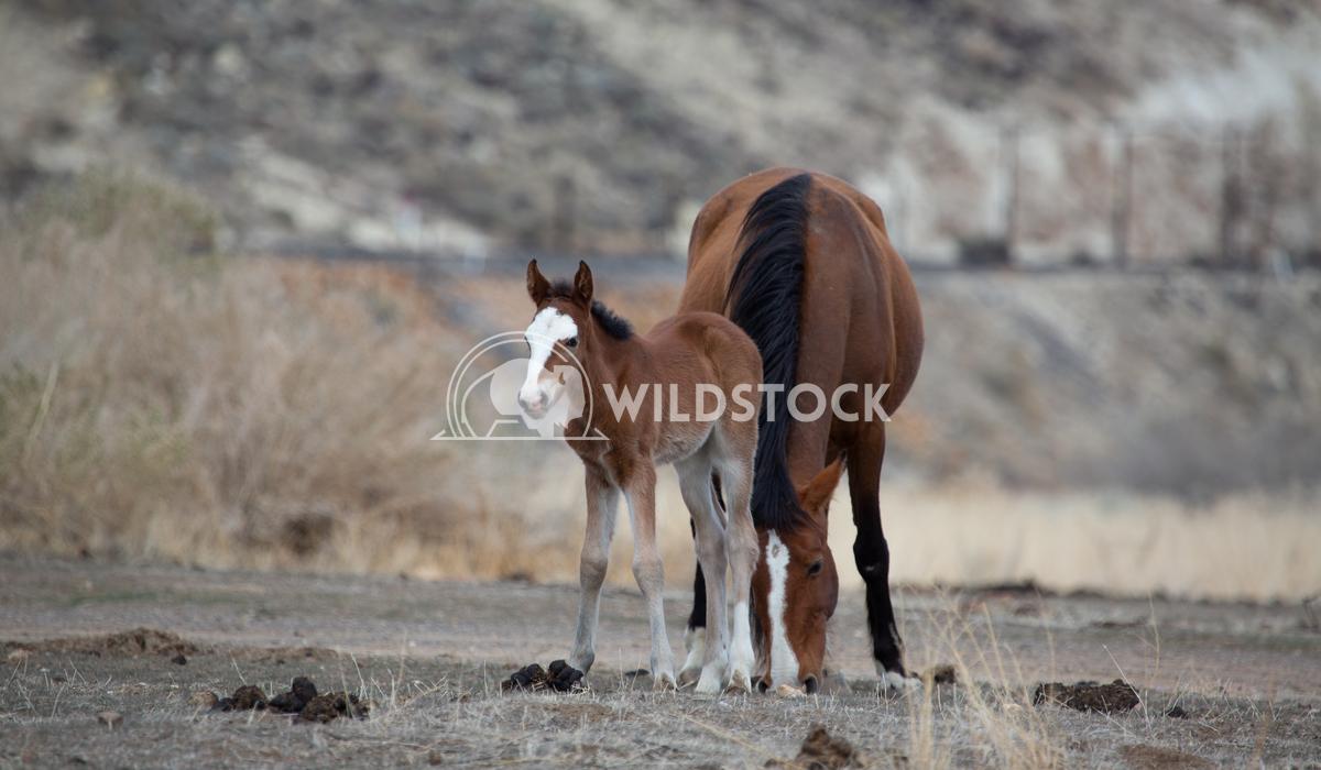 Wild Horses Through Generations Henry McCluster